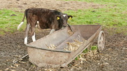 Young bull eats from a feeder. Farm animals Footage