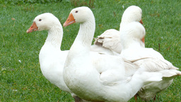 White geese on a farm 3. Farm animals Footage