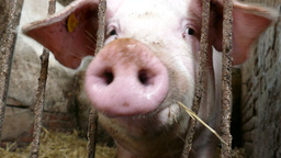 Pig behind bars eats and makes sounds Footage