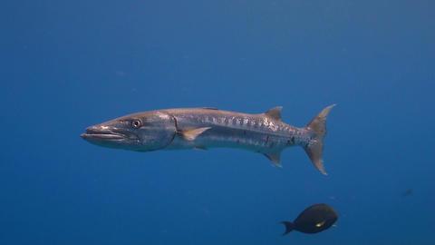Great barracuda ภาพวิดีโอ