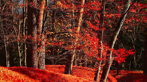 Beautiful red foliage leaves in the autumn forest Footage