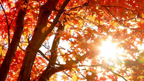Sun shining through the autumn leaves Footage