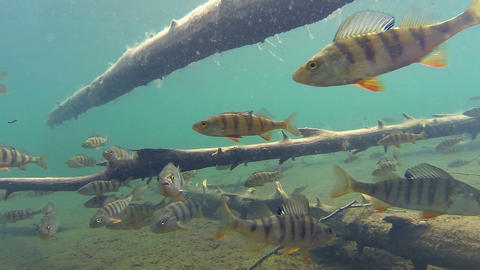 Perch fish swimming among submerged trees Footage