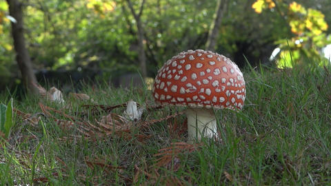 Fly Agaric Mushroom In Autumn Forest - 02 - Close- stock footage