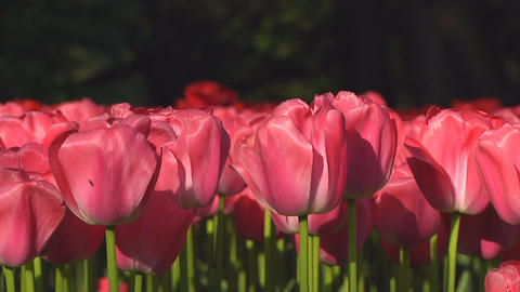 Pink tulips Stock Video Footage