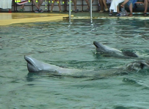 two dolphin swim Footage