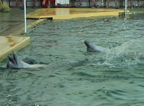 two dolphin swim Stock Video Footage