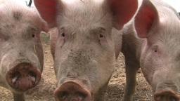 Healthy pigs Footage