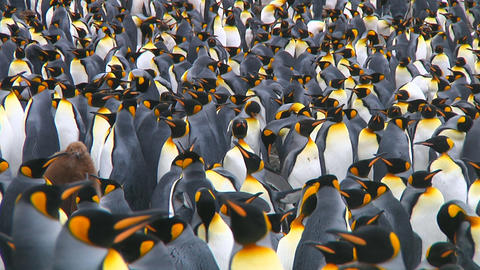 King penguins Stock Video Footage
