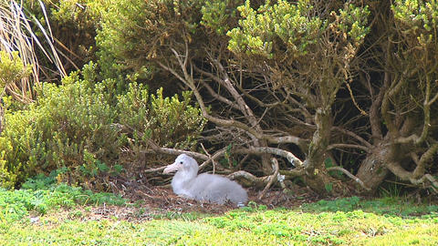 Giant petrel Footage