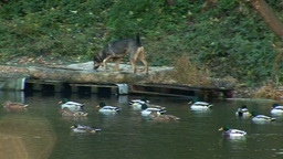 duck dog 1 Stock Video Footage