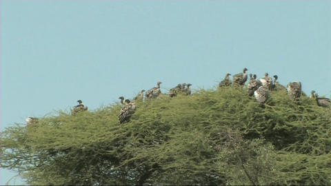 Vultures sitting in a tree Stock Video Footage