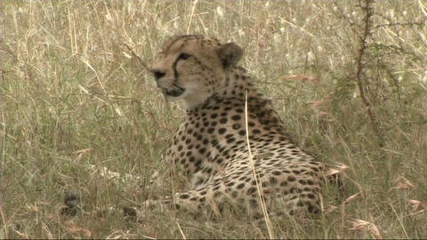 Cheetah resting Footage