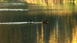 wild duck 10 Footage