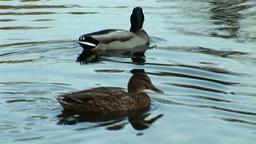 wild duck 12 Stock Video Footage