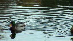 wild duck 12 Footage