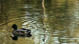 wild duck 14 Stock Video Footage