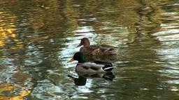 wild duck 14 Footage