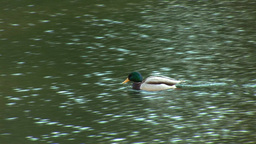 wild duck 16 Stock Video Footage