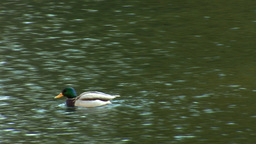 wild duck 16 Footage