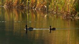 wild duck 20 Stock Video Footage