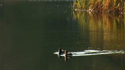 wild duck 20 Footage