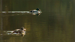 wild duck 24 Footage