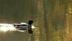 wild duck 26 Stock Video Footage