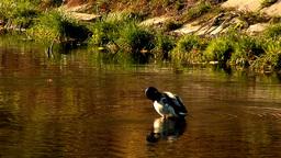 wild duck 28 Stock Video Footage