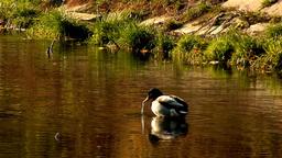 wild duck 28 Footage