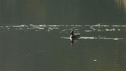 wild duck 30 Footage