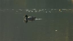 wild duck 30 Stock Video Footage