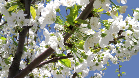 Spring flowering Stock Video Footage