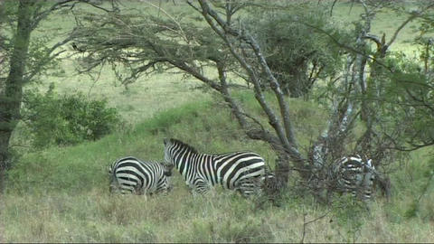 Zebra grazing Stock Video Footage