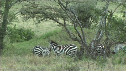 Zebra grazing Footage