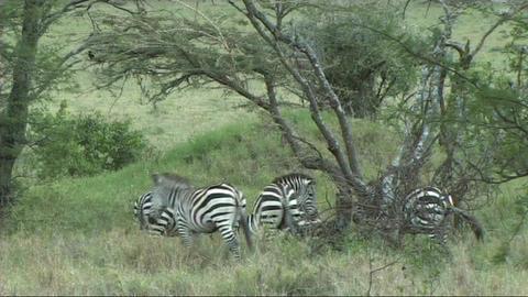 Zebra grazing Stock Video Footage