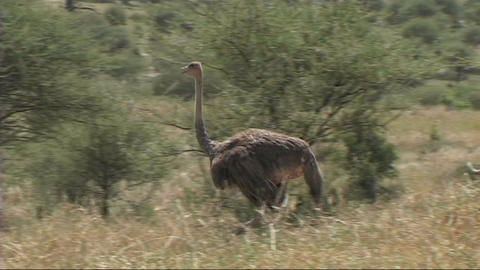 Ostrich in the Serengeti Stock Video Footage