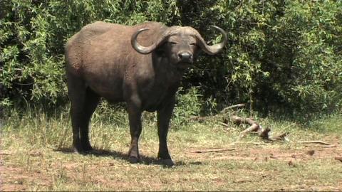 African Wildlife 2 (SD)