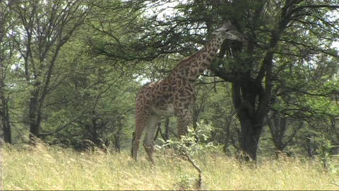 Giraffe standing Stock Video Footage