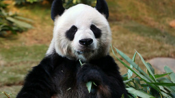 Panda feeding and facing the camera Footage