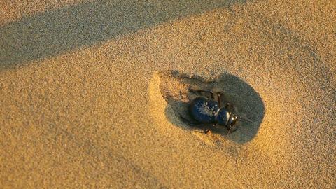 Scarab beetle Footage