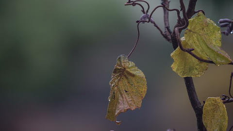Corkscrew hazel tree (Corylus avellana Contorta) Footage