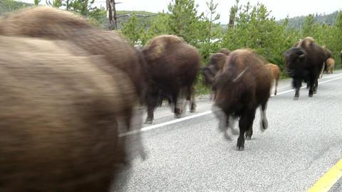 Bison Herd Footage