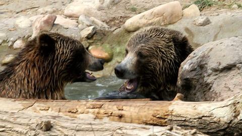 Bears Playing in Water Live Action