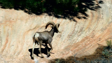 Bighorn Sheep walking away Footage