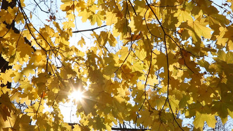 Sunshine are visible through yellow autumn leaves  Footage