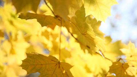 Yellow maple leaves close up Footage