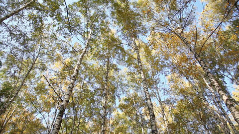 Autumn birchwood in a sunny day, the bottom view,  Footage