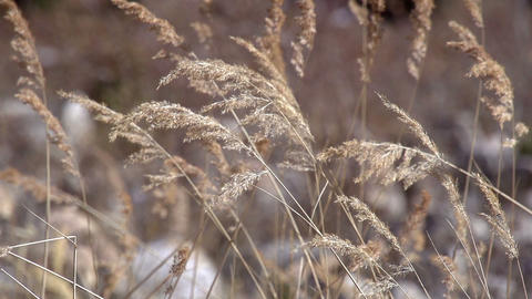 Branches of Reeds in the Wind Footage