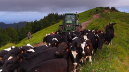 Cows On Sao Miguel, Azores Islands, Portugal stock footage